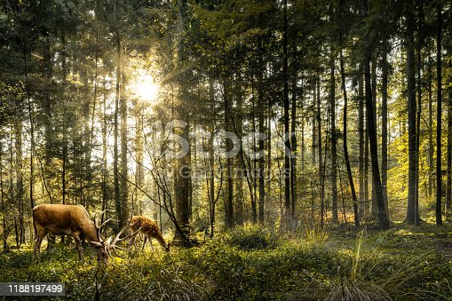 Sun is shining in forest and roe deer are grazing in beautiful forest