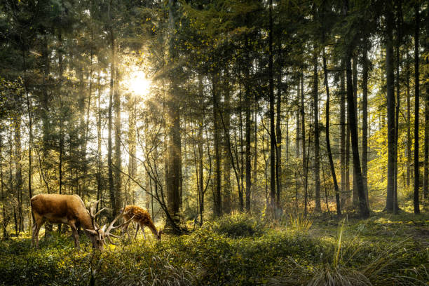 deers i skogen - rovdjur bildbanksfoton och bilder