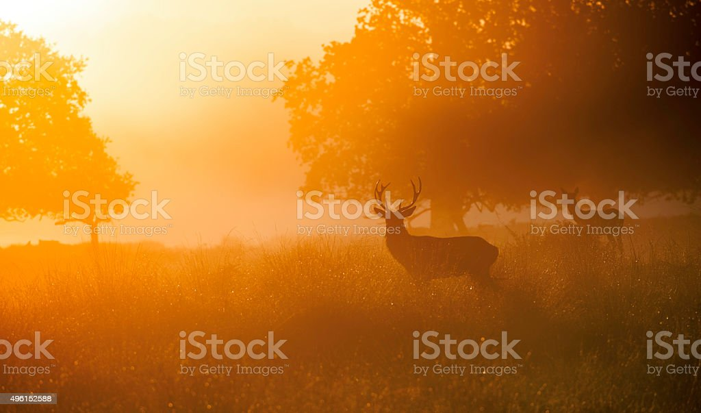 Deers in Sunrise stock photo