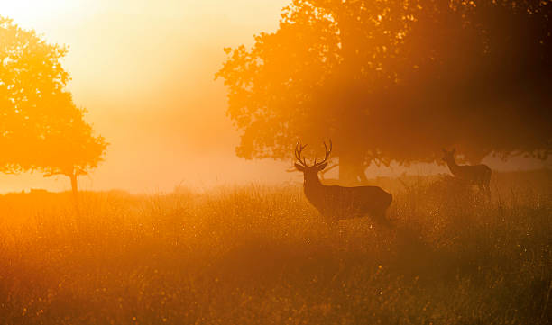 hirsche in sonnenaufgang - geweih stock-fotos und bilder
