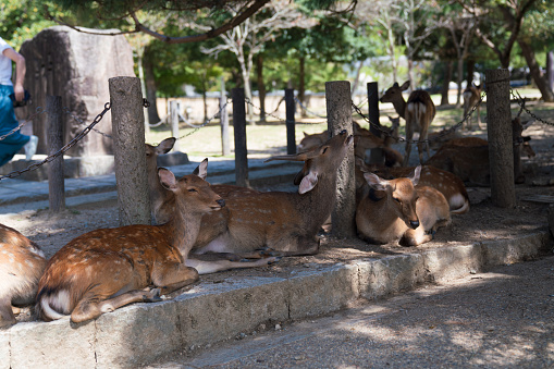 Deers in the forest in Nara park, Japan
