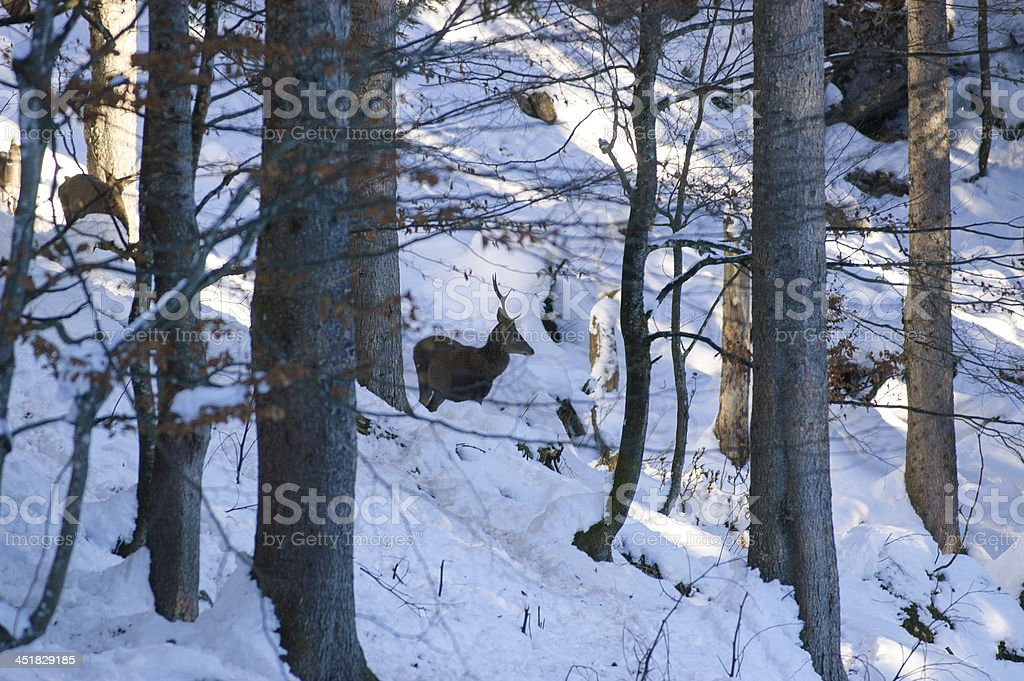 deers in winter stock photo