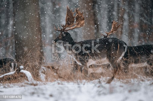 istock Deers in winterwonderland 1311091470