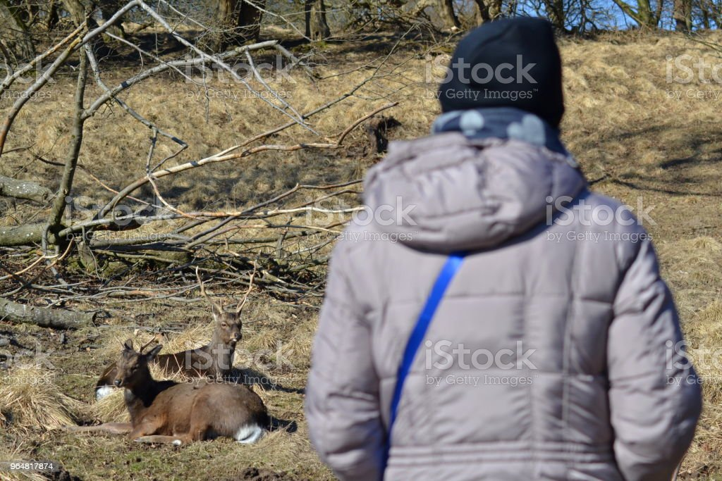 Deers looking at a tourist royalty-free stock photo