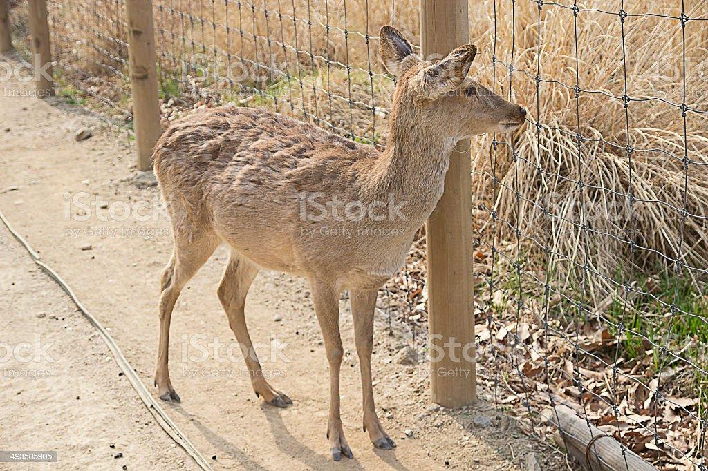 Deer's Seeking for Hometown. royalty-free stock photo