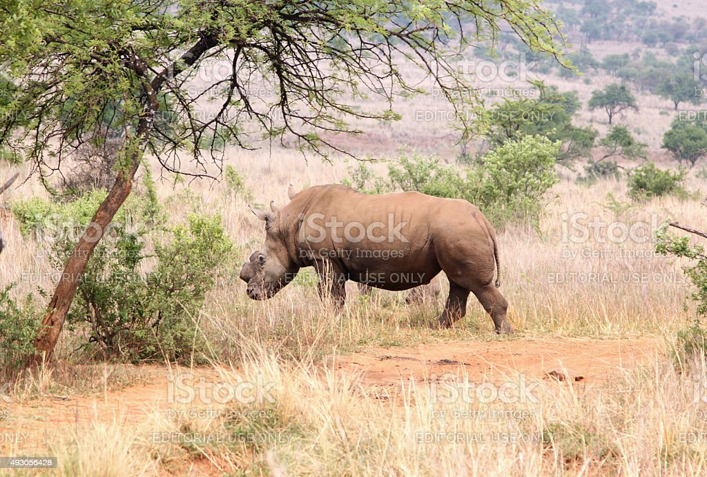 Defaced dehorned mother rhino walking off into bush after proces stock photo
