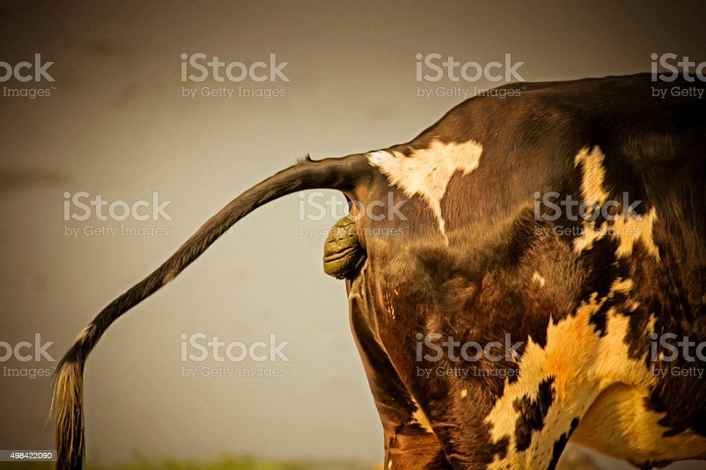 Defecating Cow stock photo