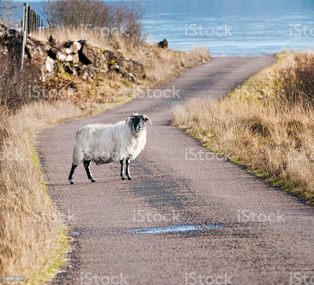 Defiant Sheep on the Road stock photo