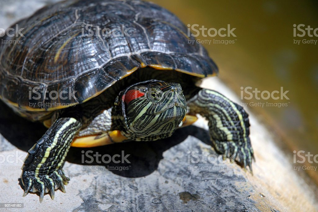 Defiant turtle royalty-free stock photo
