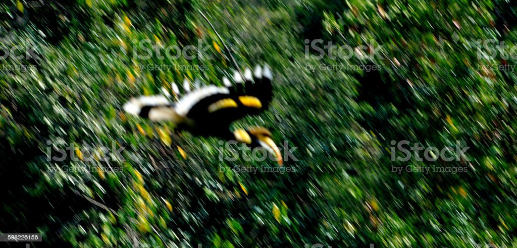 defocus blured Great hornbill bird flying abstract background foto royalty-free
