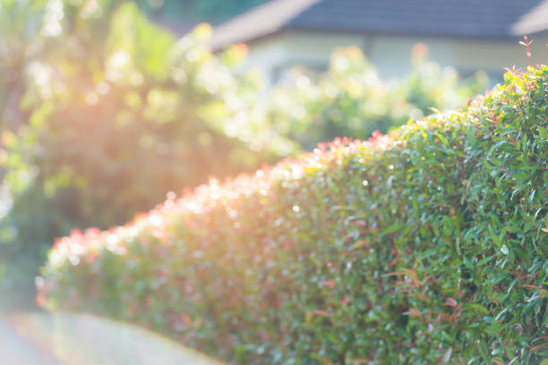 Defocus living privacy hedge fence stock photo