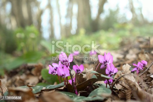 Defocused background with cyclamen
