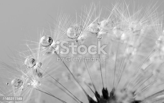 defocused drops on dandelion seed - abstract and minimalism