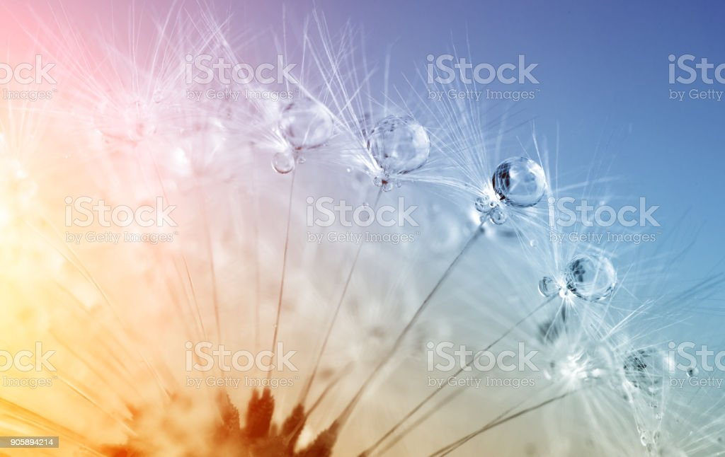 defocused drops on dandelion seed - abstract and minimalism stock photo