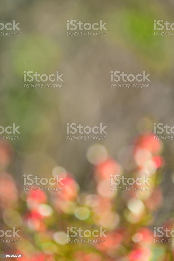 Sunlit rows of blooms of Gallberry, with red and white colors. Photo...