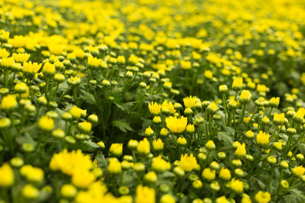 Defocused yellow flower field. Floral blur background. – zdjęcie