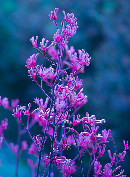 defocussed iridescent pink kangaroo paw in winter                  blue - kangaroo paw stock photos and pictures