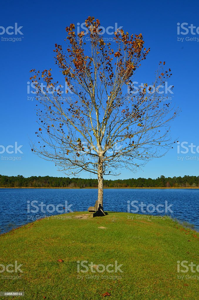 Defoliating lakeside tree during fall with forest on horizon stock photo