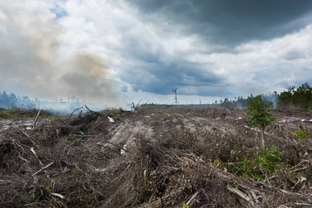 deforestated land cleaned by fire in indonesia - oleo palma imagens e fotografias de stock