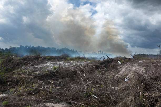 Deforestated land cleaned by fire in Indonesia On the island of Kalimantan (ex-Borneo), vast parcels of lands that used to have ancient rainforests, are deforested and replaced by some palm oil or rubber tree plantations. Large scale companies usually cut down the precious trees such as the ironwood and clear the land with bulldozers or fire, destroying forever the habitat of numerous species. palm oil stock pictures, royalty-free photos & images