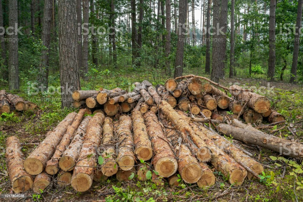 Deforestation Concept Stumps Logs And Branches Of Tree After Cutting
