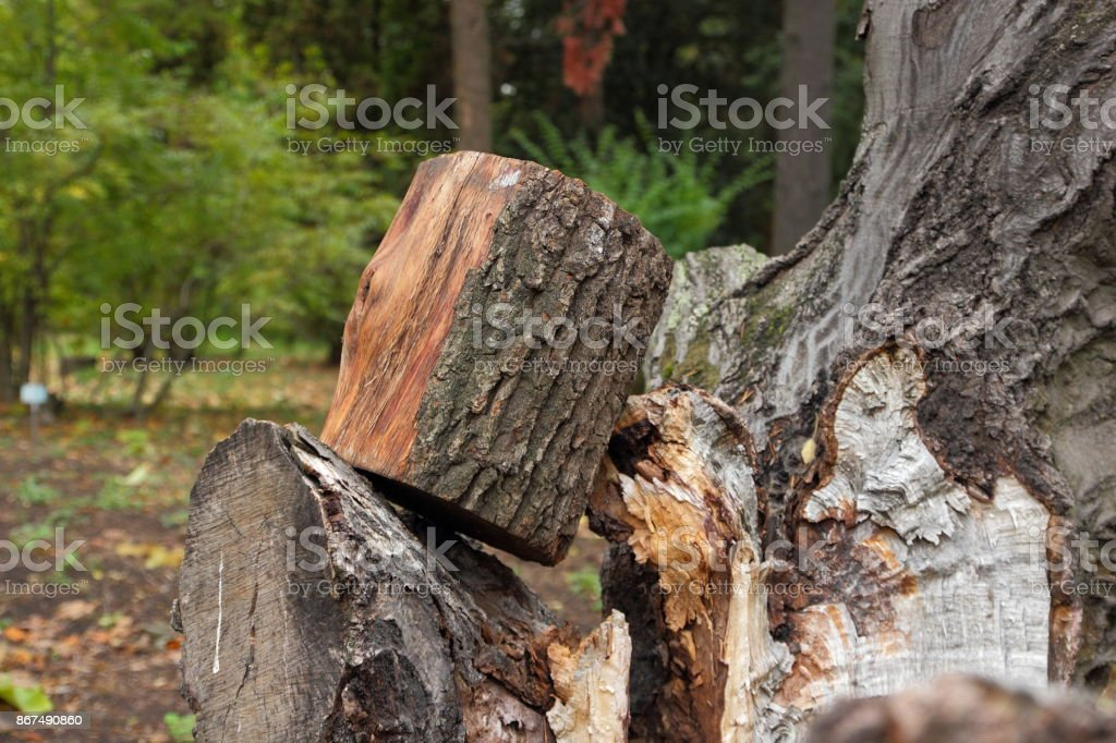 Deforestation, felled trunks of pine trees in a forest, trees, stumps, logs for heating, pollution, global warming, climate change stock photo