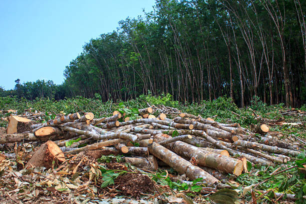 Deforestation Environmental destruction as rainforest is destroyed fr oil palm plantations deforestation stock pictures, royalty-free photos & images