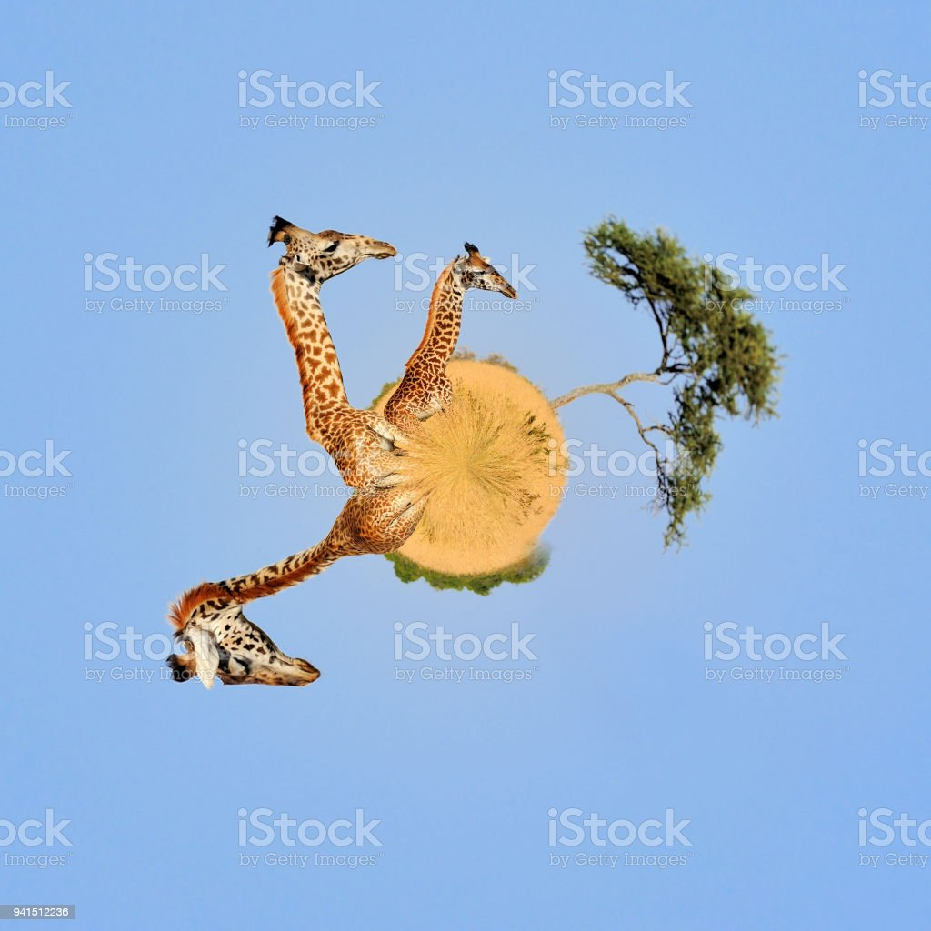 royalty free giraffe balls pictures images and stock