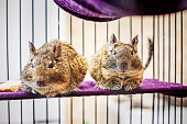 Degu climbs out of the cage, close up view