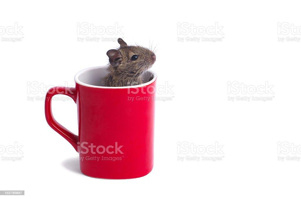 Degu in a Mug royalty-free stock photo