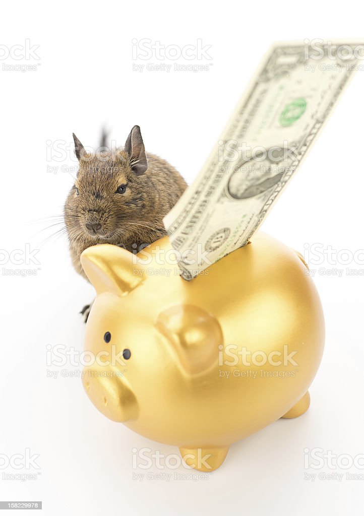 Degu saving money royalty-free stock photo
