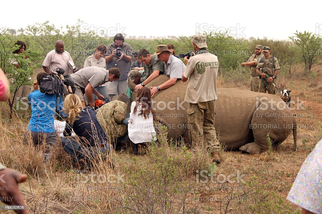 Dehorning started on large rhino after been darted and stabilize stock photo