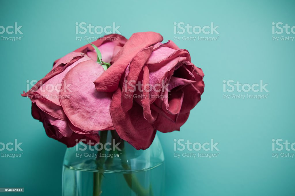 Dehydrated Dead Wilted Red Rose Flowers in Vase royalty-free stock photo