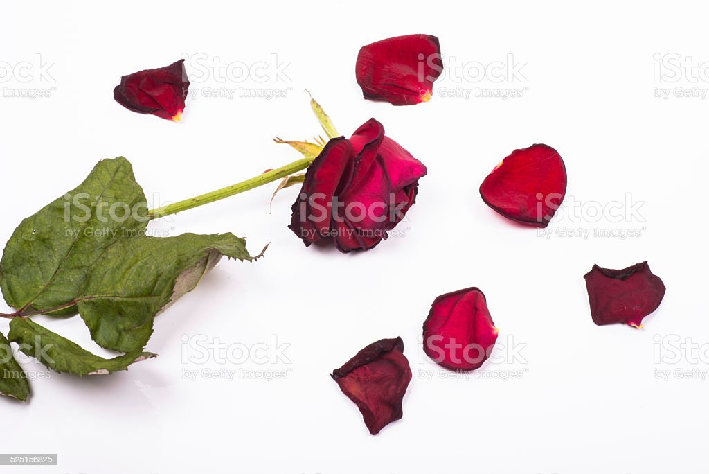 dehydrated death rose with fallen petals around stock photo