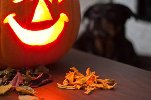 dehydrierte hausgemachte kürbis hund behandelt mit kürbis, blättern und hund - kürbis hundeleckerlis stock-fotos und bilder
