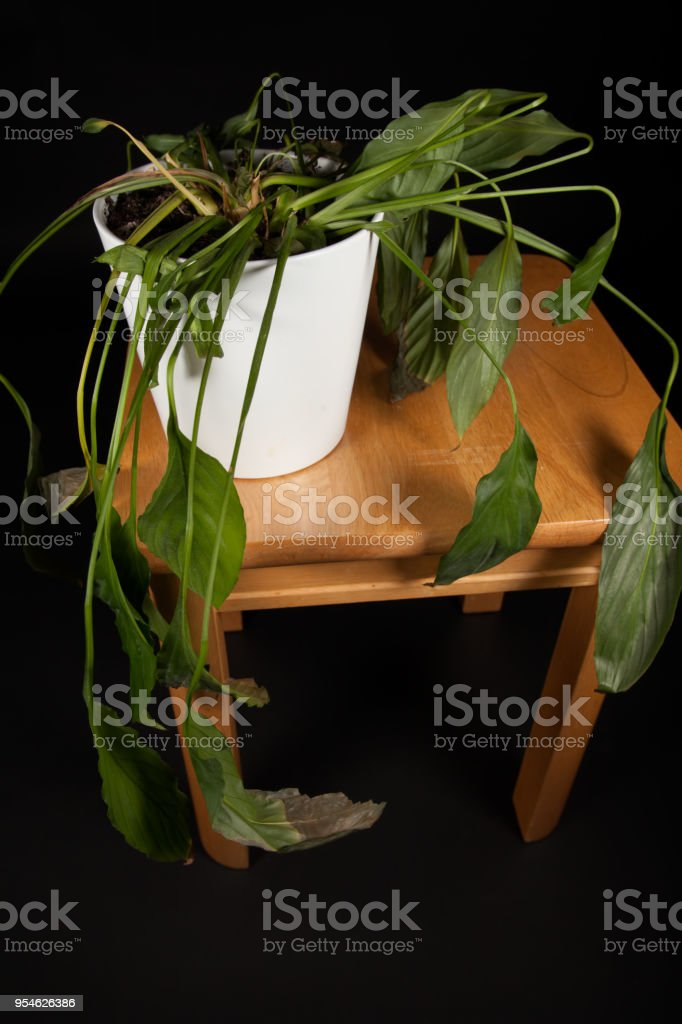 Dehydrated indoor pot-plant. Wilting house plant needing water stock photo