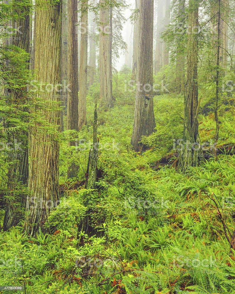 Del Norte Coast Redwood State Park royalty-free stock photo