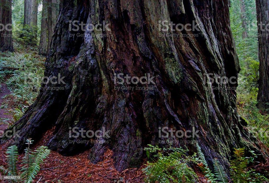 Del Norte Redwood stock photo