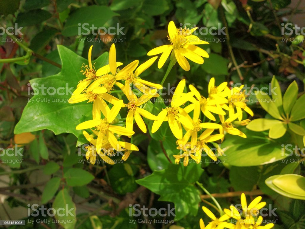 Delairea odorata, known by German Ivy or Cape Ivy, yellow flower creeper. royalty-free stock photo