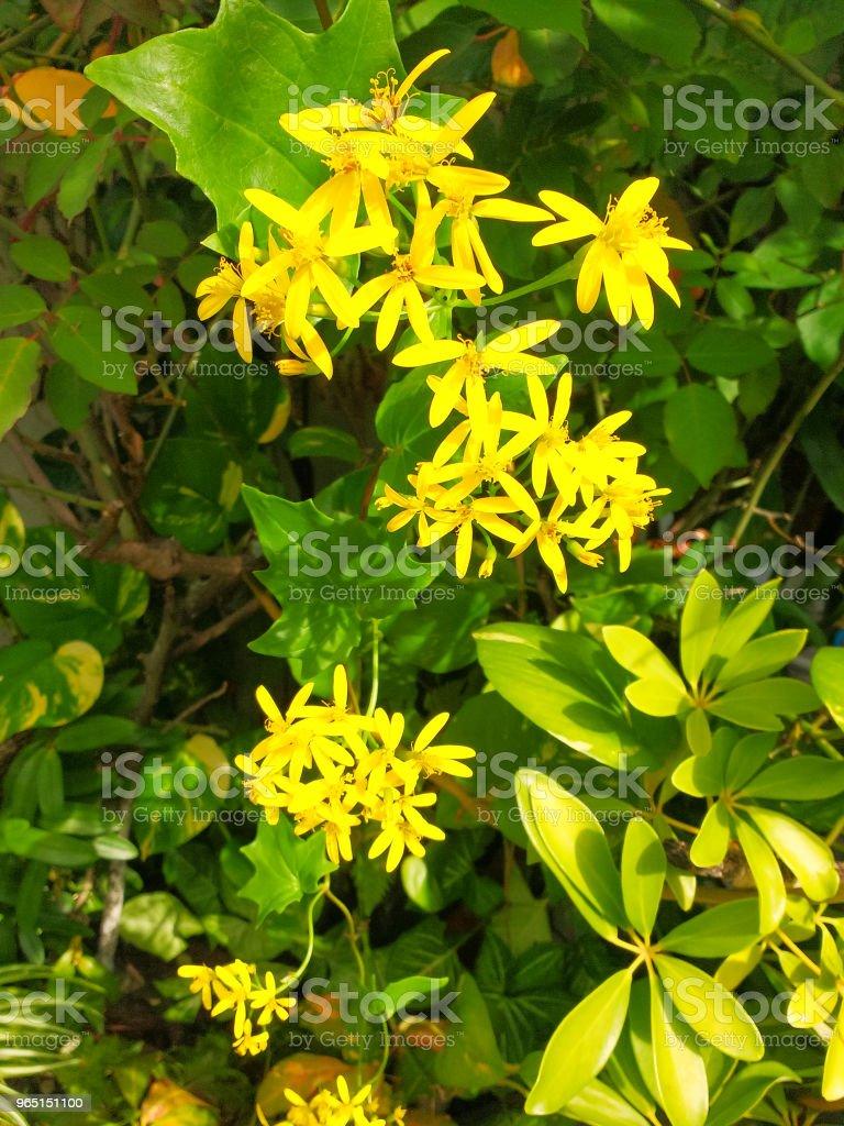 Delairea odorata, known by German Ivy or Cape Ivy, yellow flower creeper. zbiór zdjęć royalty-free