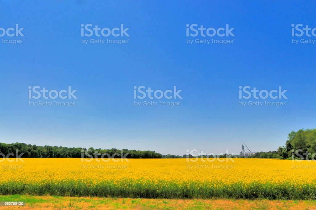 Delaware Canola Crop in Bloom royalty-free stock photo