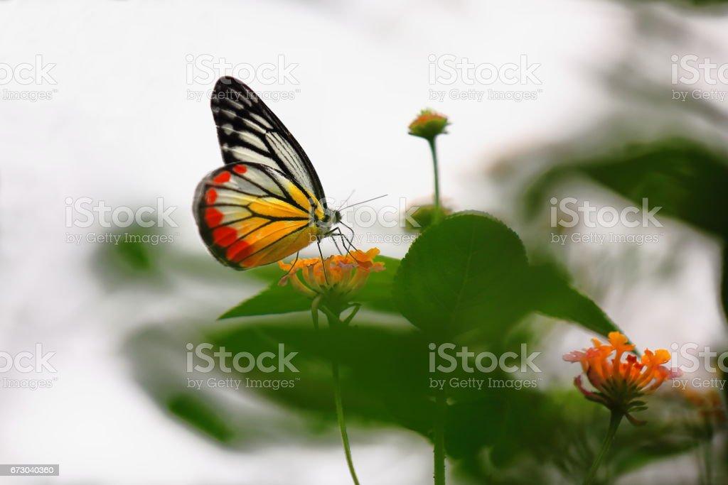 Delias hyparete-Painted Jezebel butterfly. Kuangsi butterfly park-TatKuangSi waterfalls-Luang Prabang-Laos. 4218 stock photo
