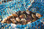 Delicacies fresh scallop mussel at fishing net