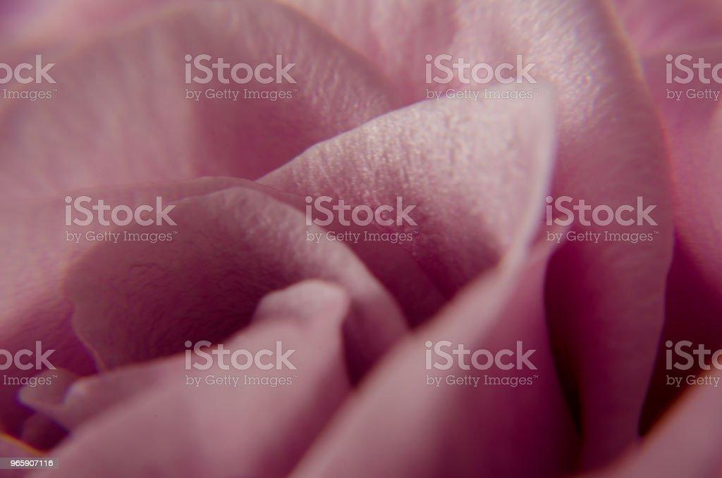Delicada Rosa - Royalty-free Beauty Stock Photo