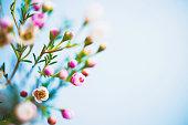 繊細な美しい新鮮なブルーの背景に映える waxflowers
