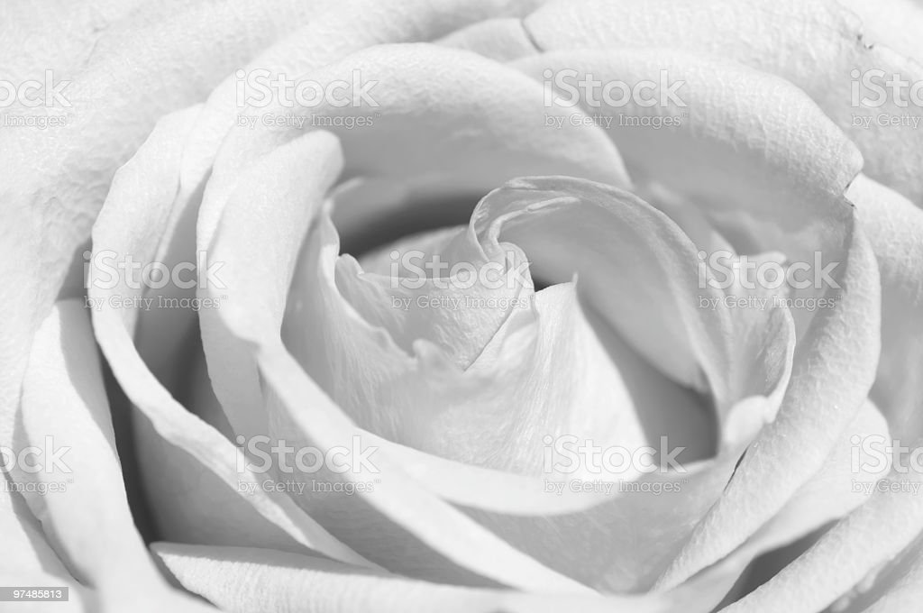 Delicate and pure rose royalty-free stock photo
