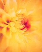 Macro shot of beautiful fall flower (mums)