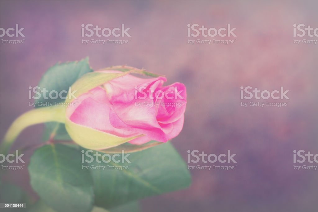 Delicate beautiful rose on a plain background foto stock royalty-free