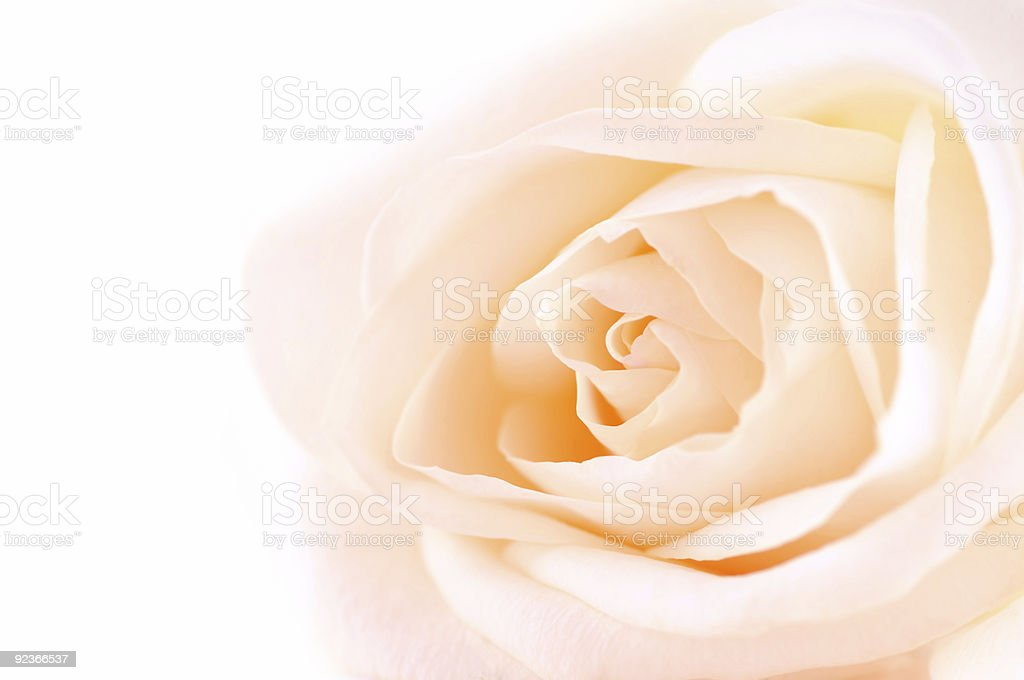 Delicate beige rose royalty-free stock photo