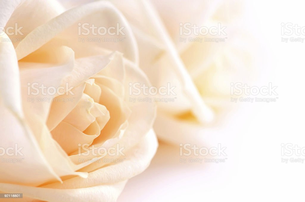 Delicate beige roses royalty-free stock photo